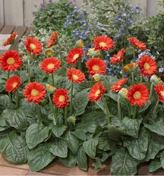 Садовая гербера - посадка и уход, как выращивать?