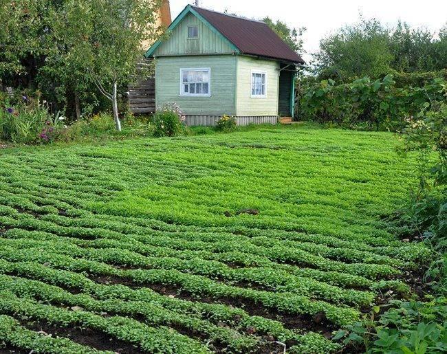 Как правильно выращивать горчицу и когда сеять: сорта, технология, посадка и уход