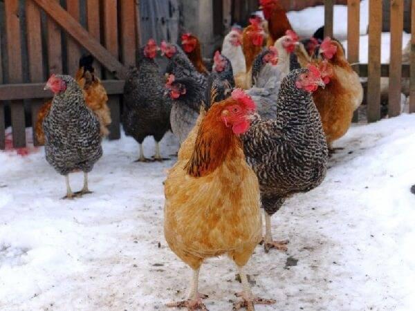 Яйценоскость кур: как повысить в домашних условиях, добавки и витамины, чтобы увеличить