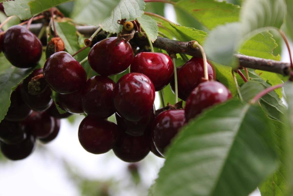 Сорт крупноплодная:как вырастить сочную черешню огромного размера в саду