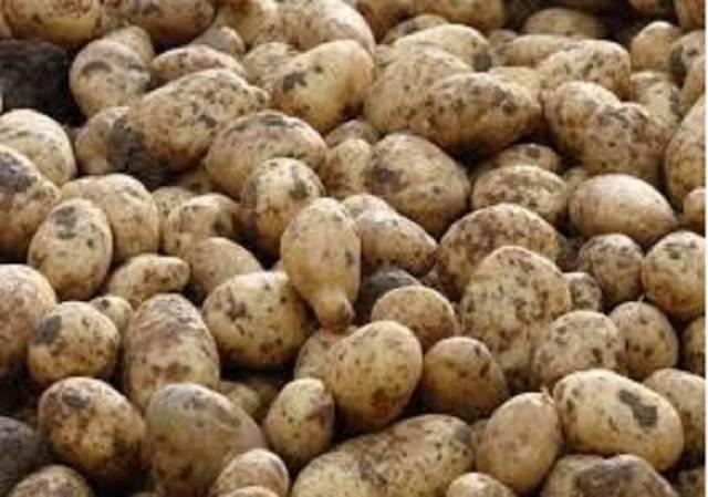 Картофель сынок или богатырь: описание и характеристики сорта, вкусовые качества