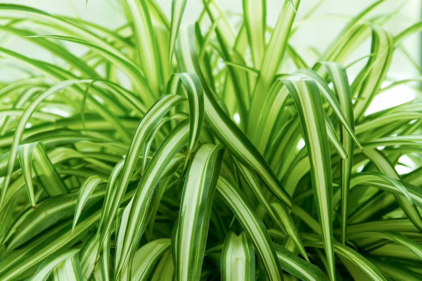 Хлорофитум хохлатый: уход в домашних условиях, фото, размножение selo.guru — интернет портал о сельском хозяйстве