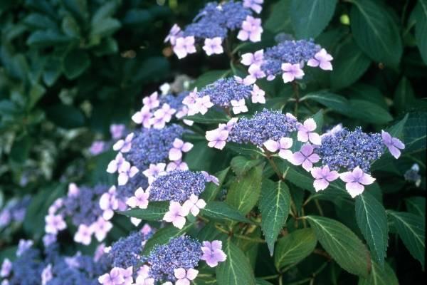 Гортензия «эрли сенсейшен»: описание, рекомендации по выращиванию и размножению