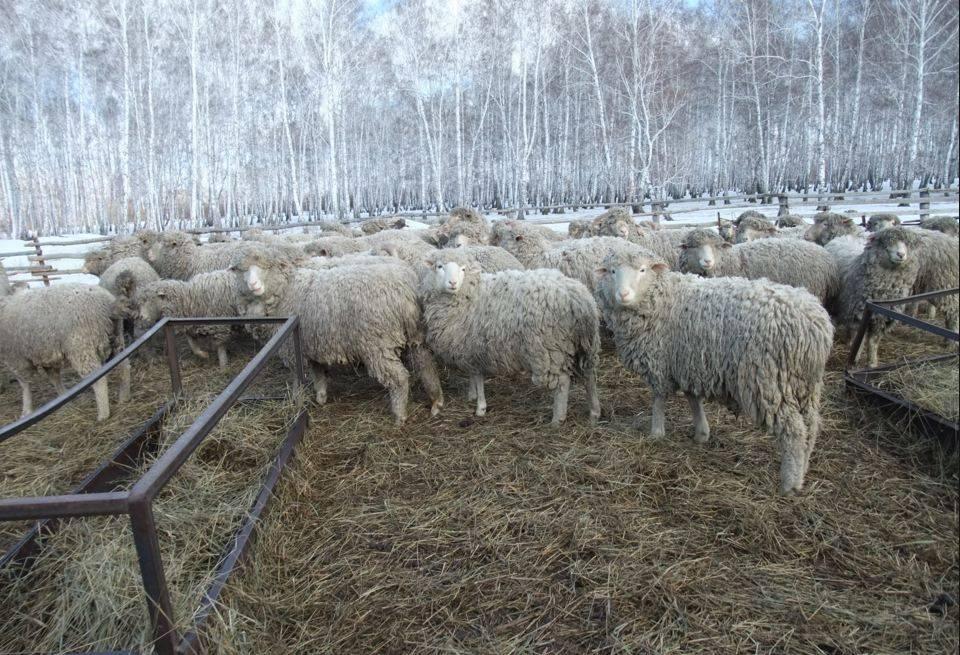 Овцеводство как бизнес для начинающего фермера: бизнес план овцеводства с расчетами