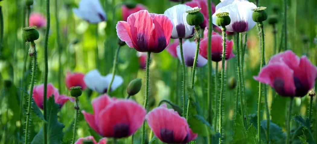 Мак: разновидности, посадка и уход за цветком