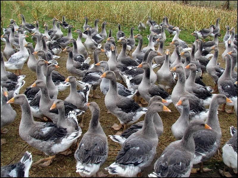 Разведение гусей как бизнес: прибыльное дело для хорошего хозяина