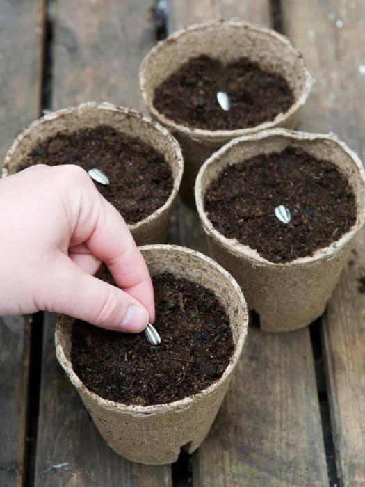 Как посадить и ухаживать за подсолнухом в открытом грунте