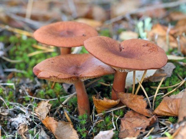 Млечник (род грибов) — википедия