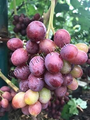 """Сорт винограда """"рошфор"""": описание, фото, посадка и уход"""