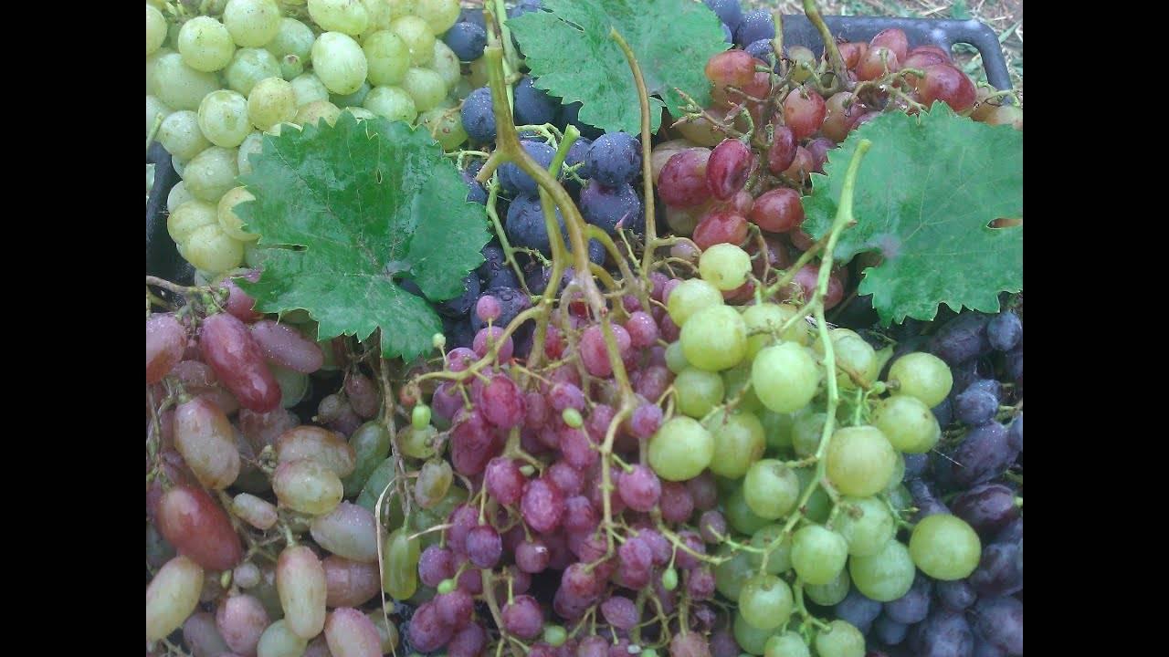 Подкормка винограда в августе, уход, подготовка к зиме – обрезка и укутывание