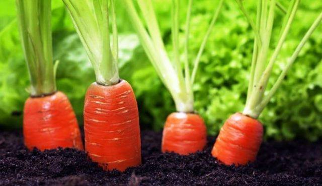 Посадка моркови весной в открытый грунт: как правильно сеять морковь семенами