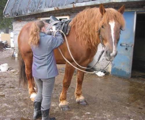 Порода лошадей советский тяжеловоз — особенности содержания