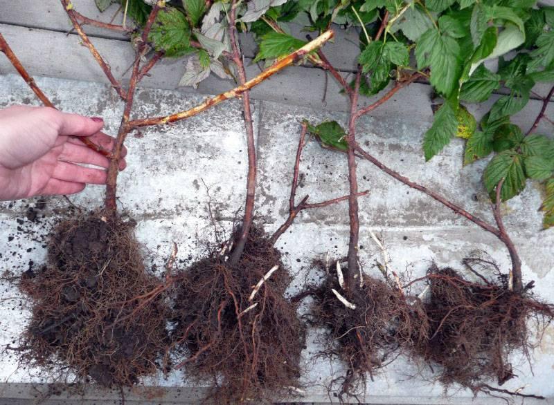 Как правильно посадить малину осенью и когда это сделать