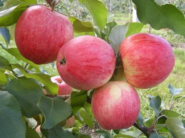 Описание и фото яблони осенняя радость