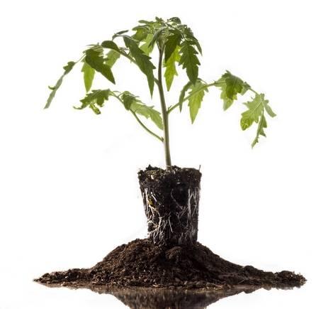 Подкормка рассады томатов народными средствами: какие удобрения необходимы, чтоб помидоры были толстенькие, а также рекомендации по выращиванию взрослых кустов русский фермер