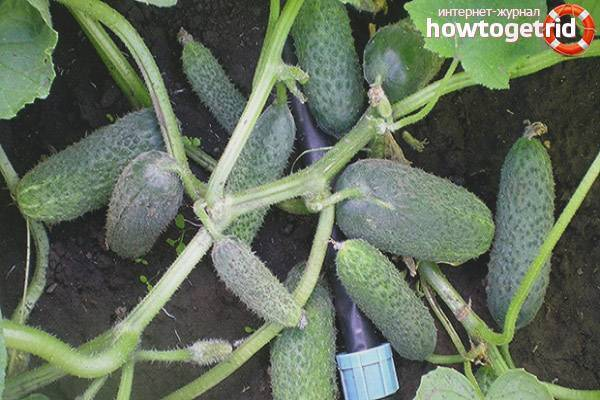 Огурец бабушкин внучок: описание сорта и выращивание с фото