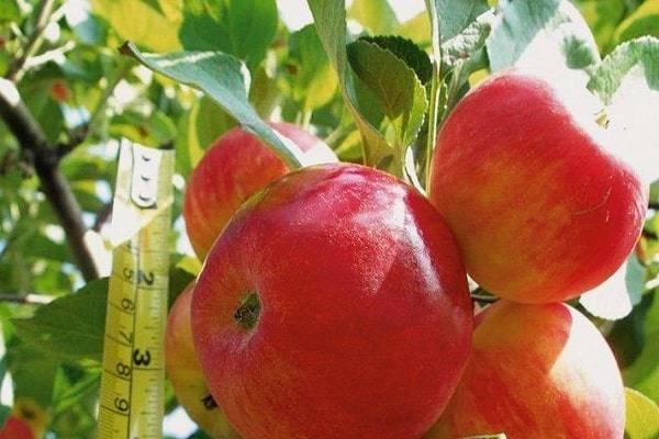 Яблони солнцедар: описание сорта и фото, особенности и характеристики selo.guru — интернет портал о сельском хозяйстве
