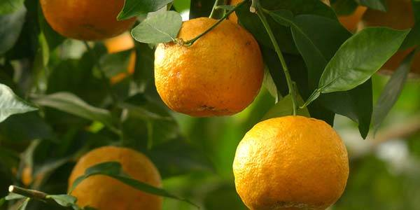 Выращивание апельсина из косточки в домашних условиях, в том числе комнатного: посадка, уход, сорта и виды, борьба с вредителями и болезнями