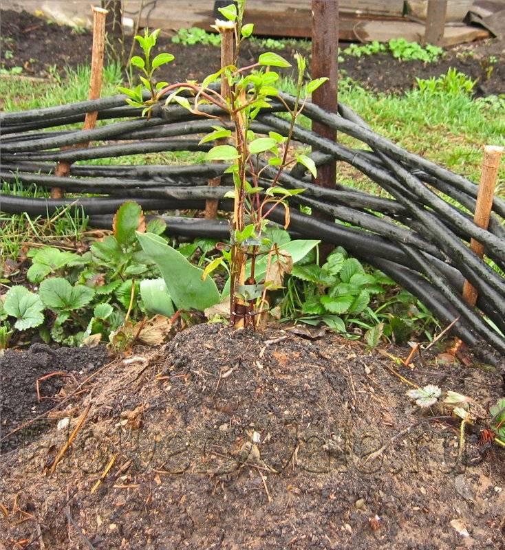 Как посадить клематис: посадка весной и осенью пошагово