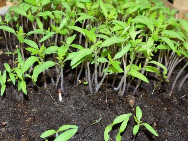 Томат уральский гигант: характеристика и описание сорта, отзывы, фото, урожайность