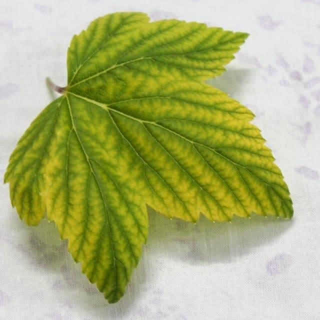 Почему желтеют листья смородины: болезни и вредители, внешние факторы пожелтения