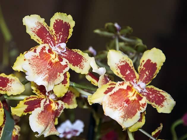 Орхидный гибрид камбрия: цветение и уход
