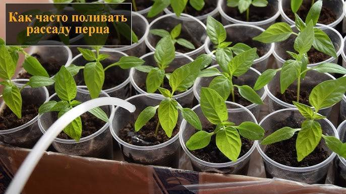 Чем подкормить рассаду перцев в домашних условиях: когда и как удобрять, химические и народные средства для хорошего роста русский фермер