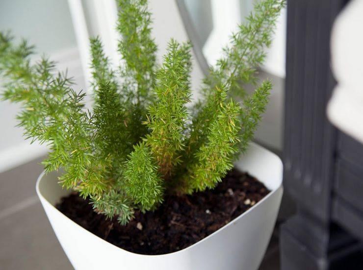 Выращивание аспарагуса серповидного: как посадить, ухаживать, удобрять, размножать