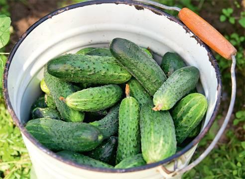 Огурцы луховицкие: описание сорта, сколько дают урожая, выращивание, фото