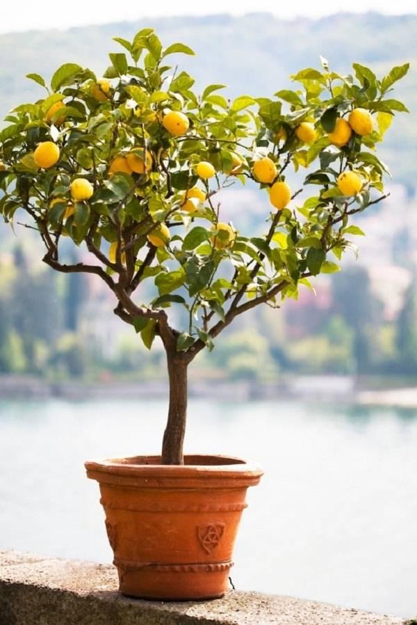Чем подкормить лимон в домашних условиях? как удобрять лимонное дерево в горшке во время плодоношения, зимой, осенью и в другие сезоны?