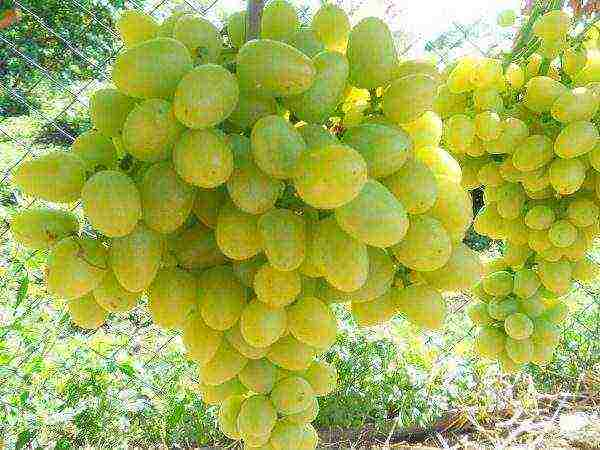 10 лучших неукрывных сортов винограда