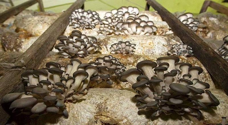 Грибы вёшенки: как выглядят в природе, разновидности, описание
