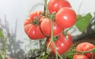 Томат «рома»: описание и характеристика, выращивание, фото