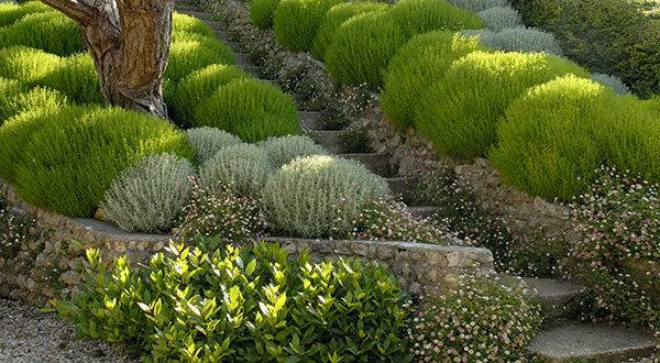 Растение сантолина: фото, виды, выращивание, посадка и уход в открытом грунте