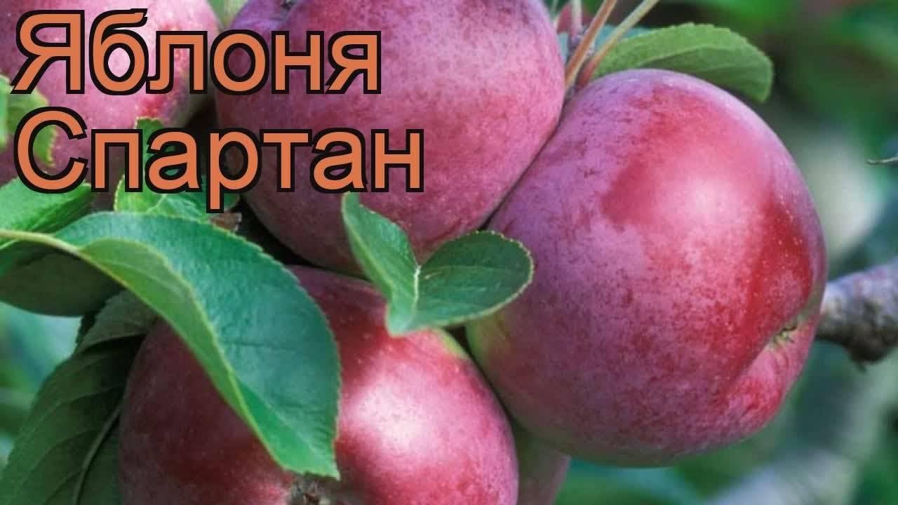 Яблоня спартан – описание сорта, фото, отзывы