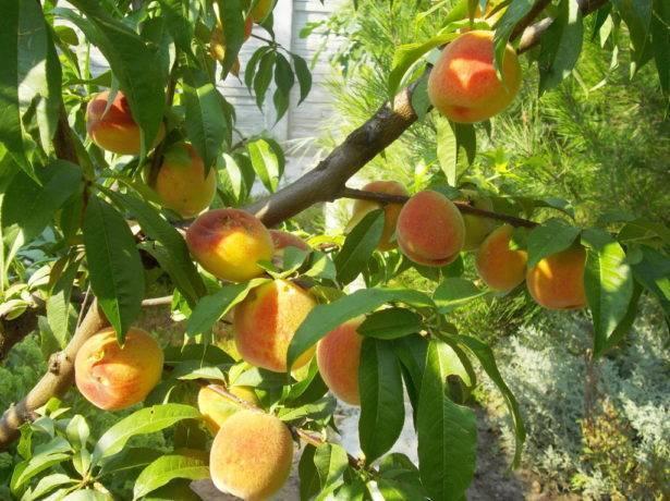 Лучшие сорта персиков для россии с фото и описанием: самоплодные, морозоустойчивые, отзывы