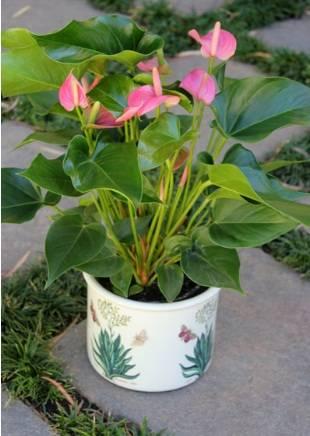 Антуриум андре (32 фото): уход в домашних условиях, разновидности цветка андрианум «чемпион» и красная «дакота», «беби бумер» и «сиерра»