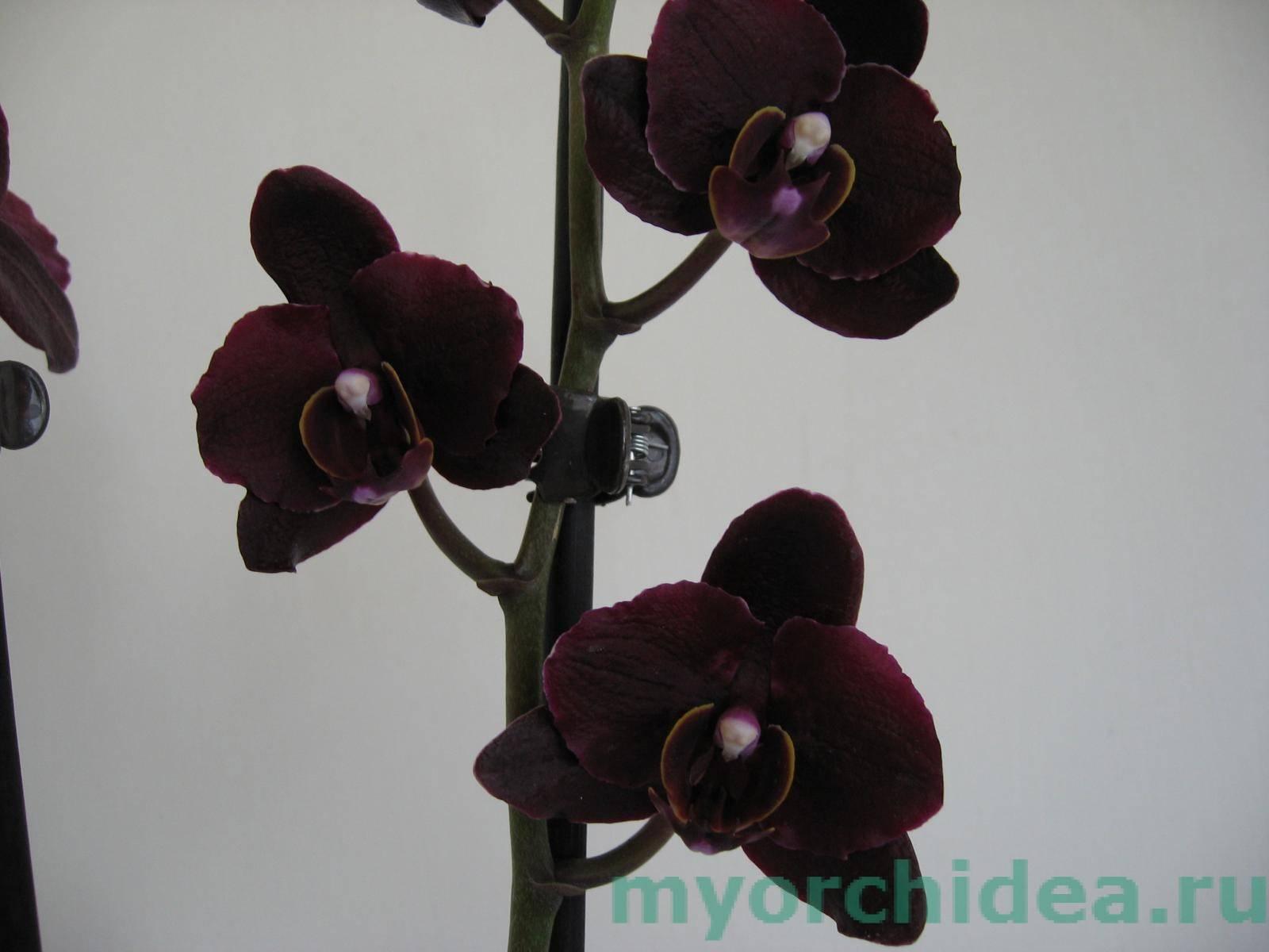 Орхидея — характеристика, уход и пересадка цветка + 85 фото