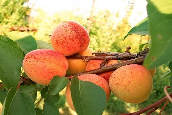 Самоплодные абрикосы: особенности и характеристики сортов - дом и участок
