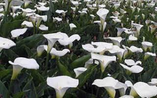 ✅ почему не цветут каллы в открытом грунте - питомник46.рф
