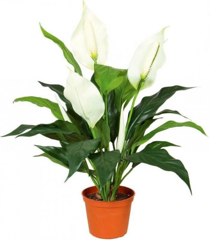 """Спатифиллум (цветок """"женское счастье""""): как ухаживать, как пересадить, полив, подкормка"""