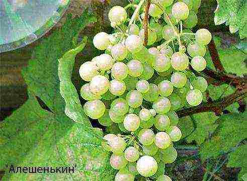 Правила ухода и выращивание винограда в подмосковье