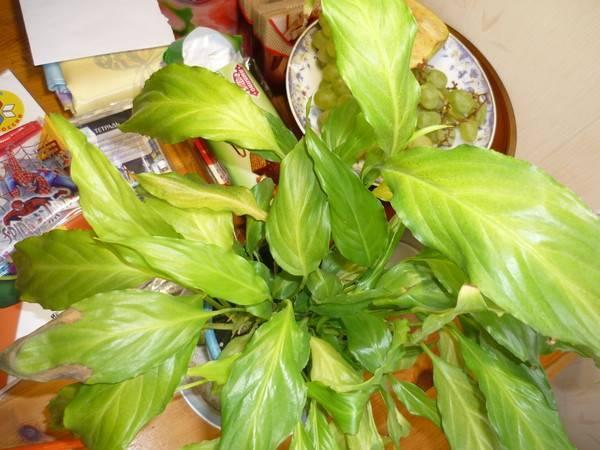 Спатифиллум: выращивание, описание видов