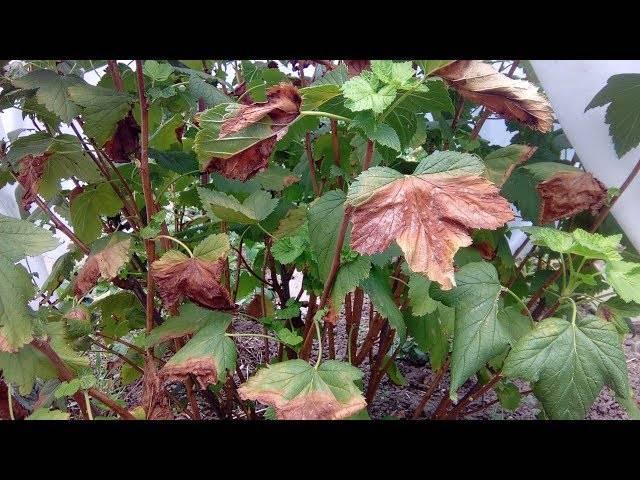Желтеют листья у смородины – что делать?