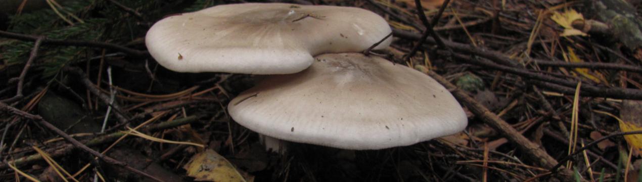 Майский гриб или рядовка майская - съедобный гриб. описание. фотоо