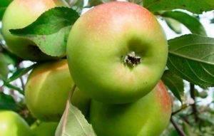Описание и основные характеристики яблони сорта солнцедар и рекомендуемые регионы для выращивания