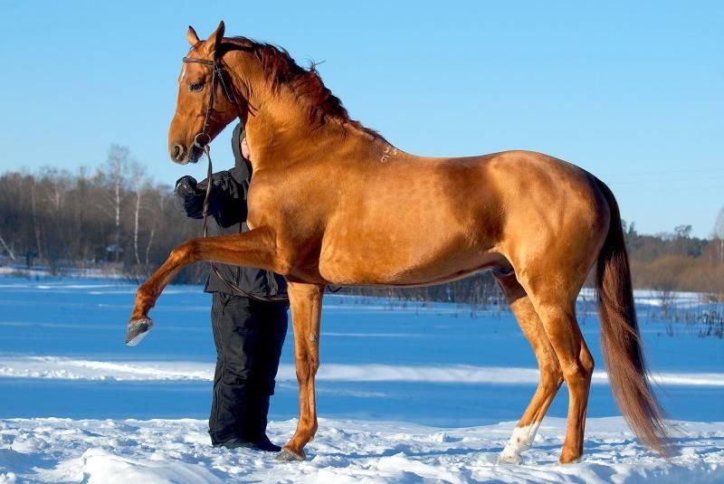 Буденновская порода лошадей: фото и характеристика