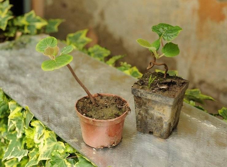 Как растет киви, его выращивание в домашних условиях