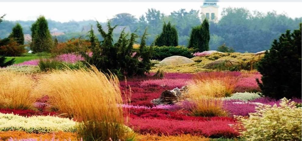 Вереск: посадка и уход в открытом грунте, виды и сорта с фото