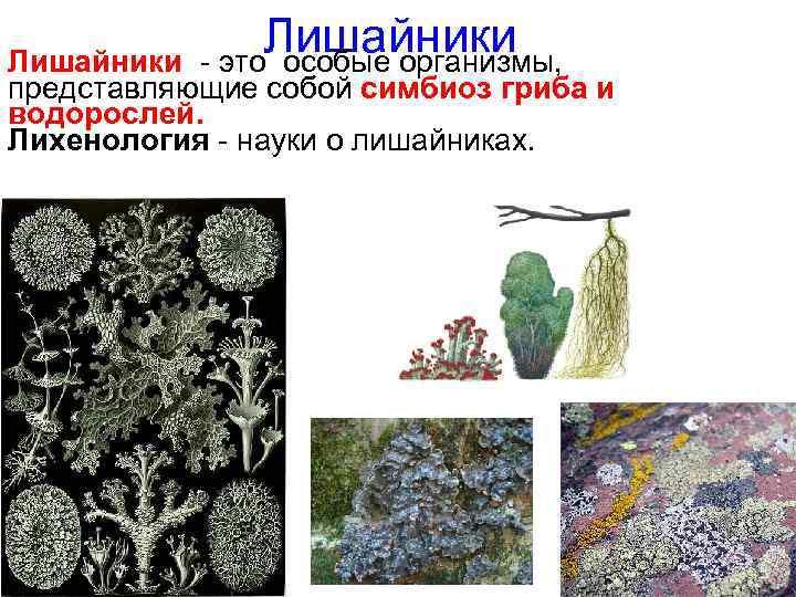 Лишайники – что это за организмы, где они встречаются и можно ли их трогать руками